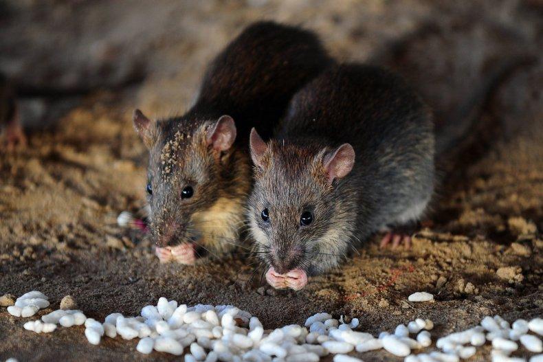 06_20_Rats