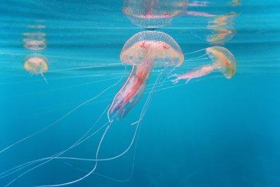 6_20_Jellyfish