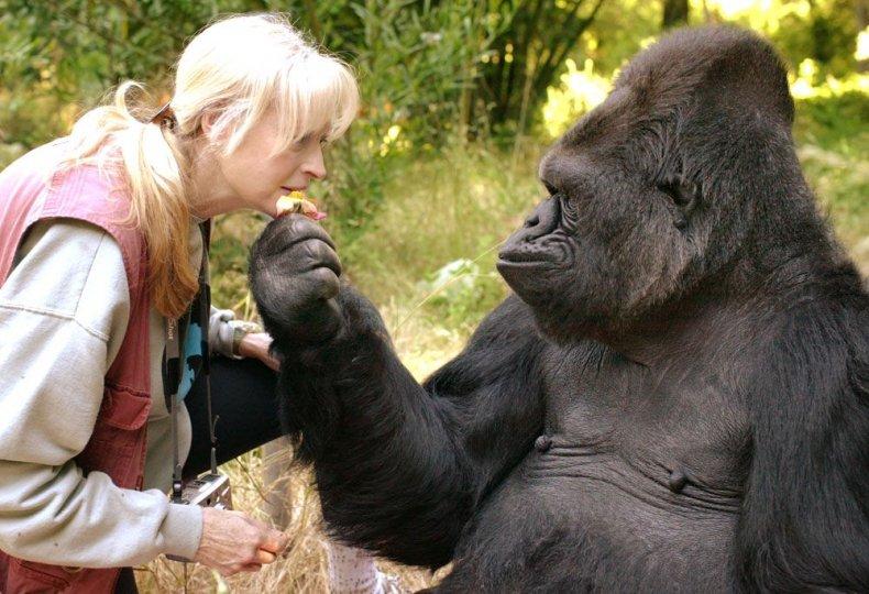 6_21_Koko the Gorilla