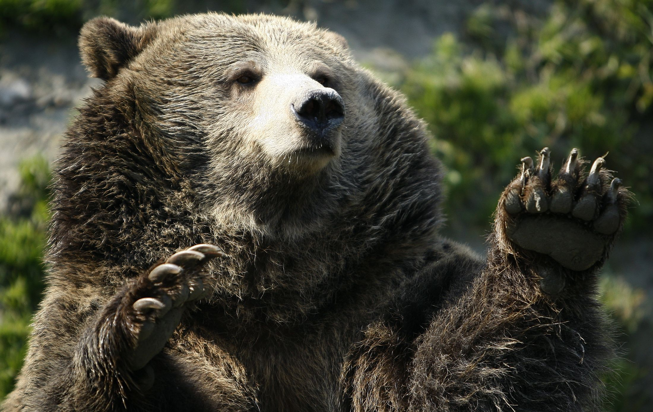 grizzly bear attacks - HD2200×1388