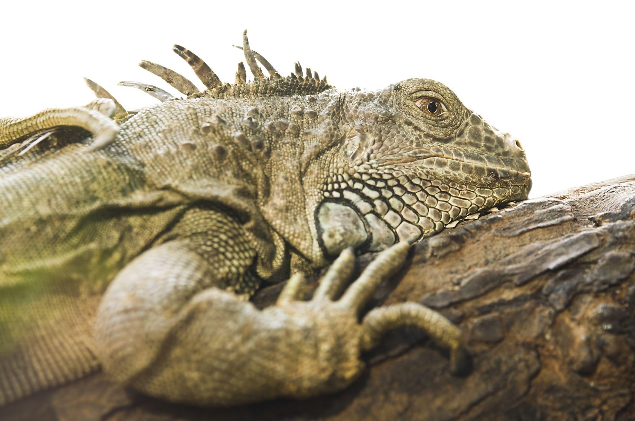 iguana-istock